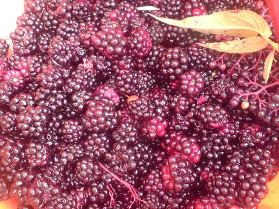 Rare+blackberries+-+the+few+remaining+ones+on+the+greenway+this+season